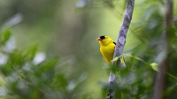 Travis Truelove - Goldfinch - Bird - Shy Male