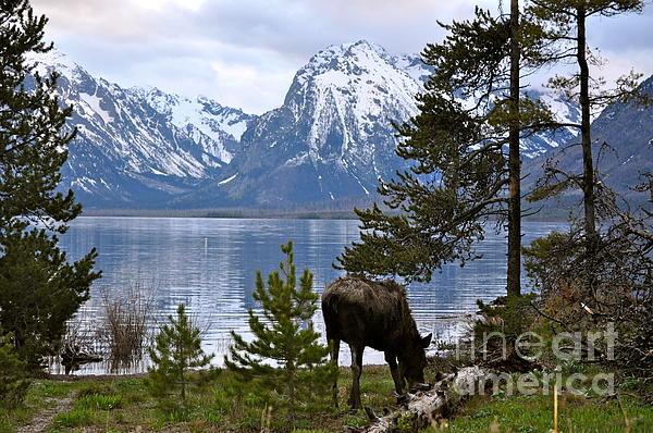 Johanne Peale - Grand Teton Moose