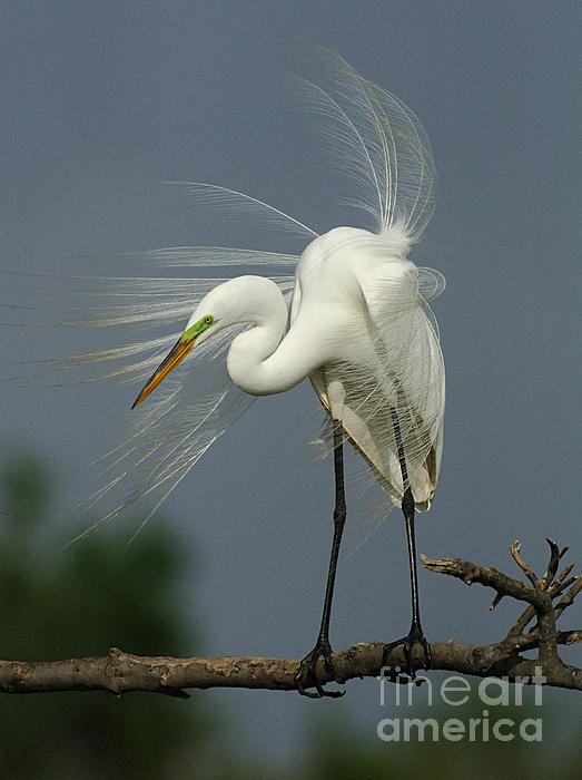Bob Christopher - Great Egret