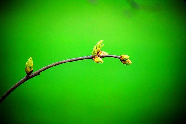 Rosanna Selnekovic - Green Bloom