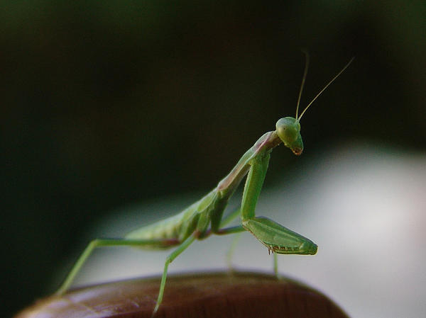 Alessandro Della Pietra - Green Mantis