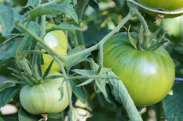 Mick Anderson - Green Tomato on the Vine