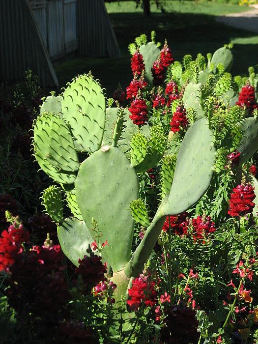 Shawn Hughes - Hill Country Cactus with a Snapdragon Kiss