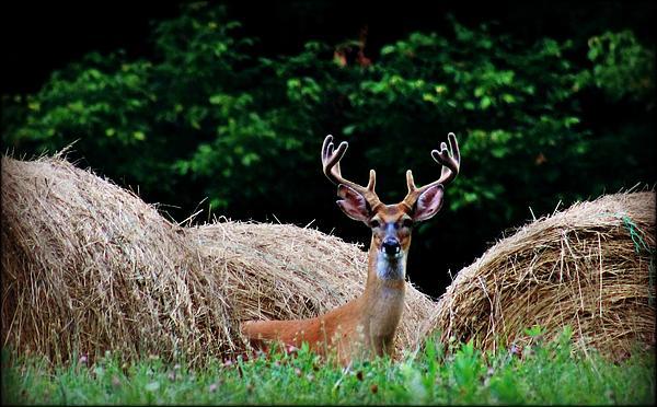 Jessica Barlow - Horn in the Hay Buck