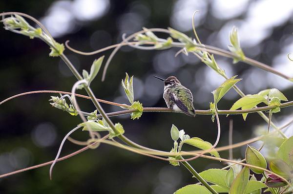 Alena Newcomb - Hummingbird