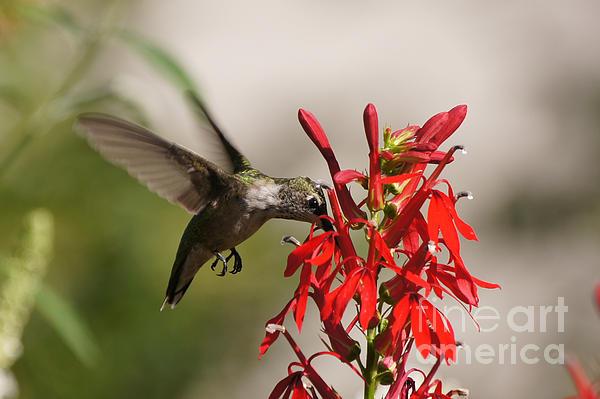 Robert E Alter Reflections of Infinity - Hummingbird and Cardinal Flower 8069-1