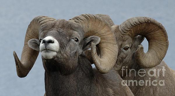 Bob Christopher - Big Horn Sheep 1