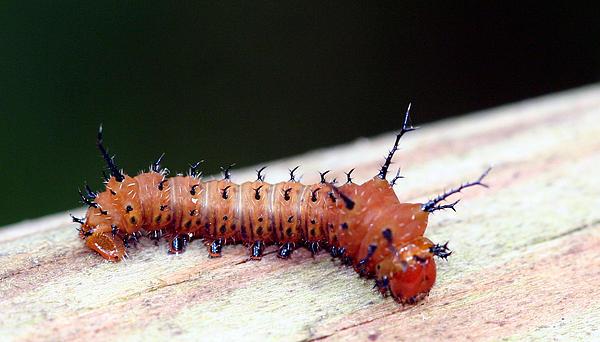 April Wietrecki Green - Imperial Moth Caterpillar