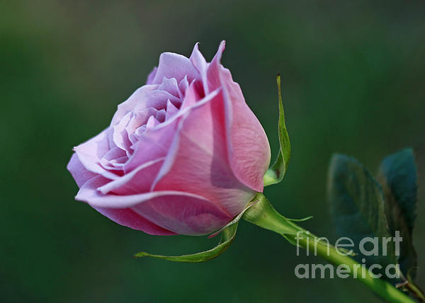 Inspired Nature Photography Fine Art Photography - Innocence at Sunrise- Pink Rose Blossom