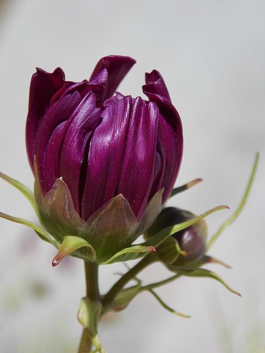 Judy Arbuckle - Last Blooms