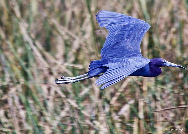 Roger Wedegis - Little Blue Heron In Flight