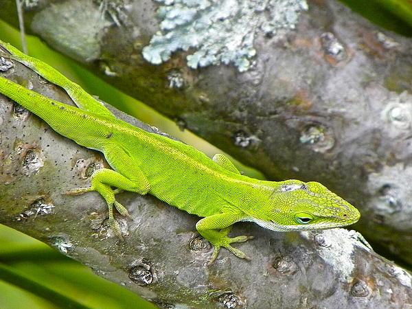 Eve Spring - Lizard Lime