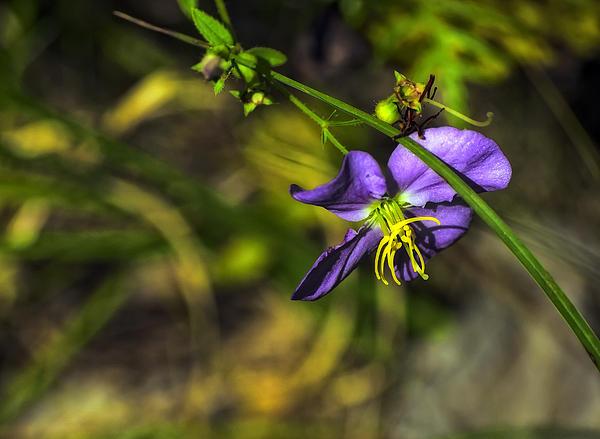 Kathleen K Parker - Louisiana Wildflower
