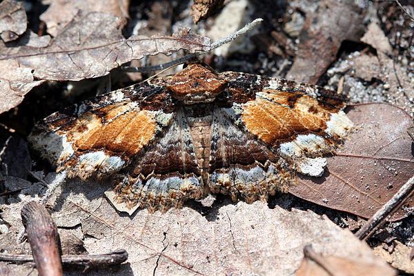 April Wietrecki Green - Lunate Zale Moth