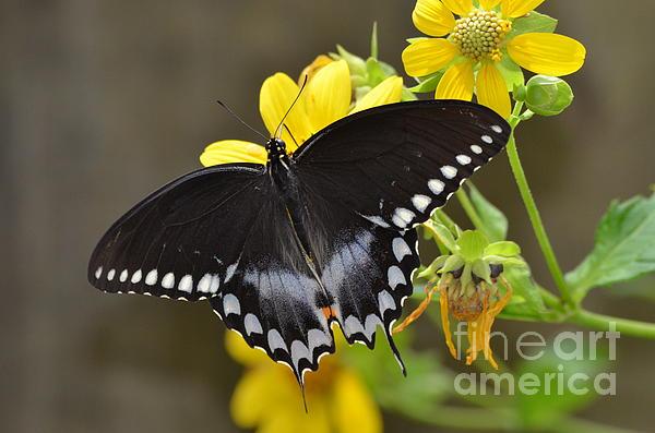 Kathy Gibbons - Male Spicebush Swallowtail