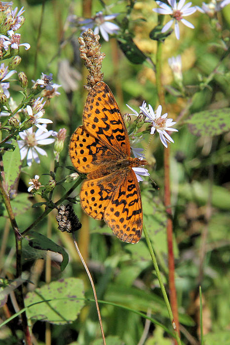 Doris Potter - Meadow Fritillary