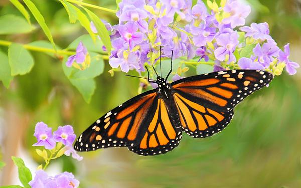 Rosalie Scanlon - Monarch and Lavender Flowers