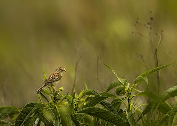 Bill Tiepelman - Morning Sparrow Catch