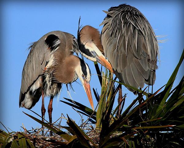 Jim Baker - Nesting Great Blue Heron Pair