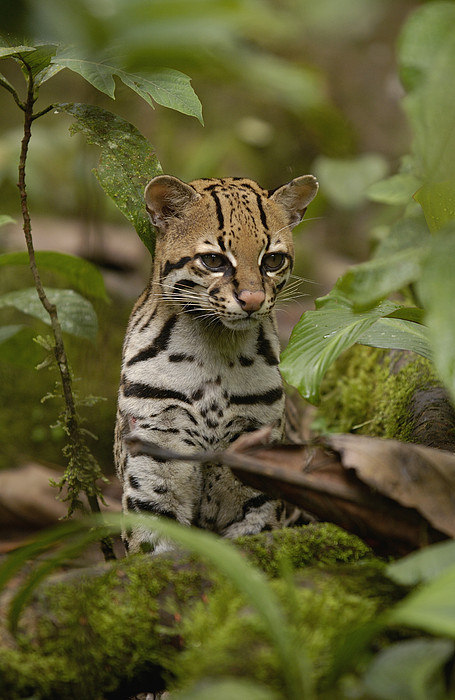 cash for iphone ocelot leopardus pardalis sitting among by pete oxford 10346