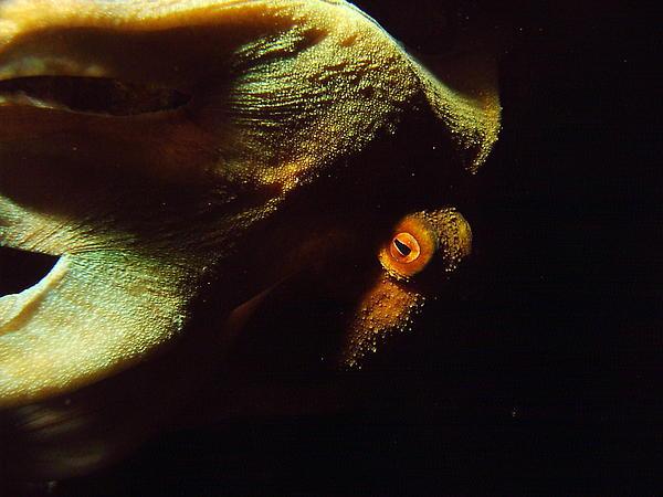 Tommy Hawen - Octopus Night