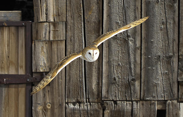 John T Humphrey - Old barn owl