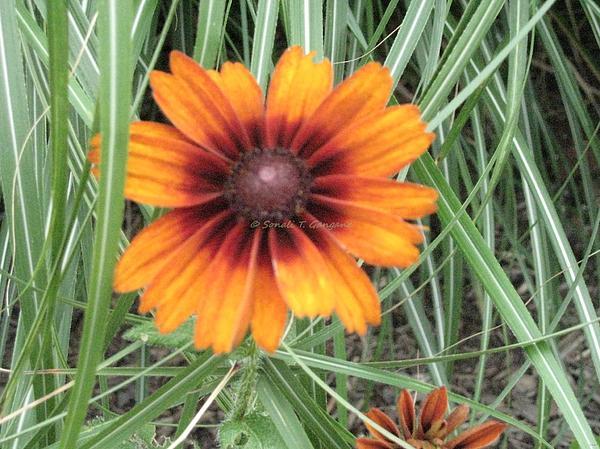 Sonali Gangane - Orange aster