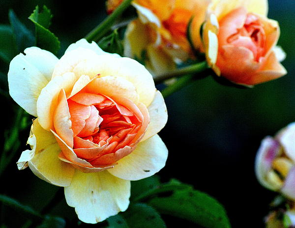 Billie sue  Crownover - Orange Delight