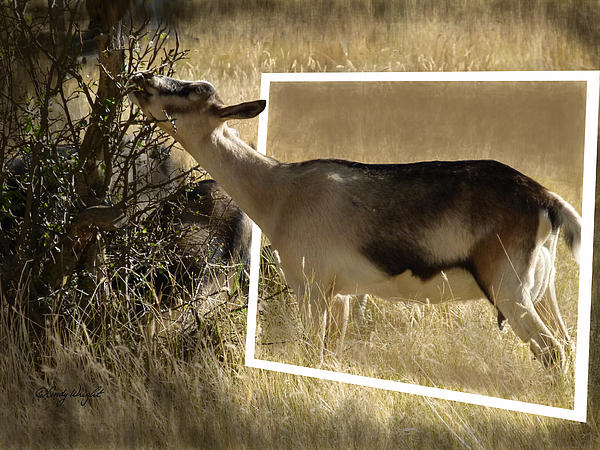 Cindy Wright - Out of Bounds Goat