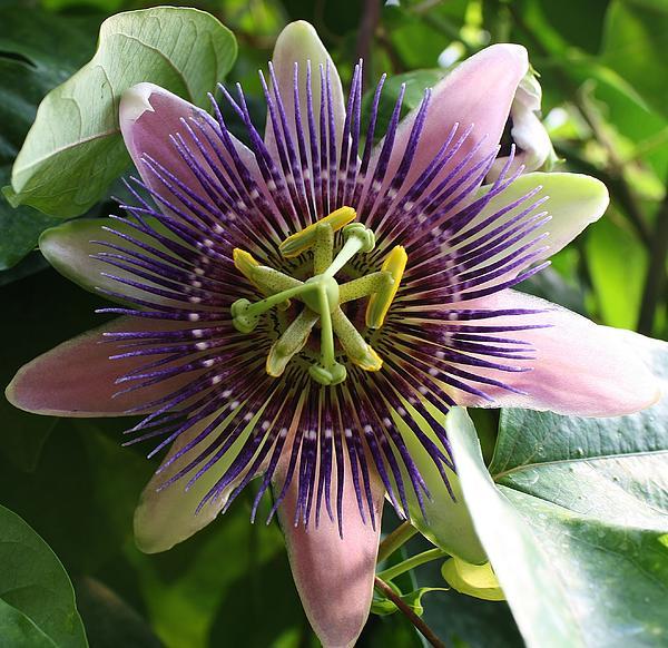 Bruce Bley - Passion Flower 2