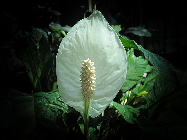 Chantal PhotoPix - Peace Lily in Bloom
