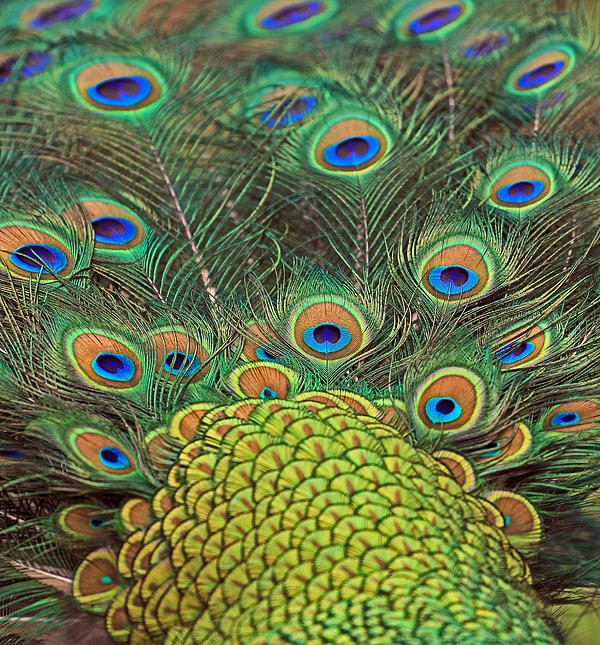 Larry Nieland - Peacock  Detail