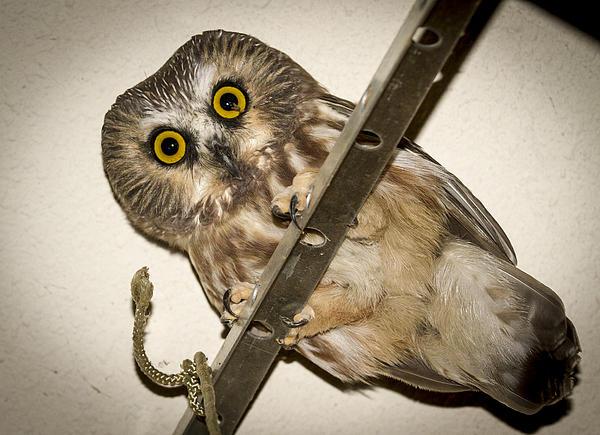 Jean Noren - Peering Saw-whet