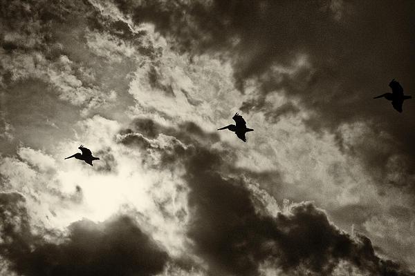 Roger Wedegis - Pelican Fly By