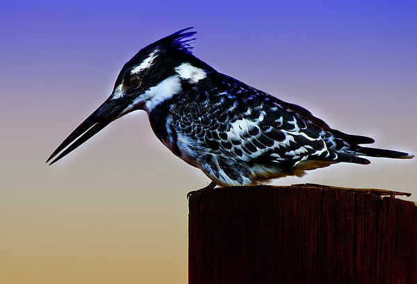 Ronel Broderick - Pied Kingfisher