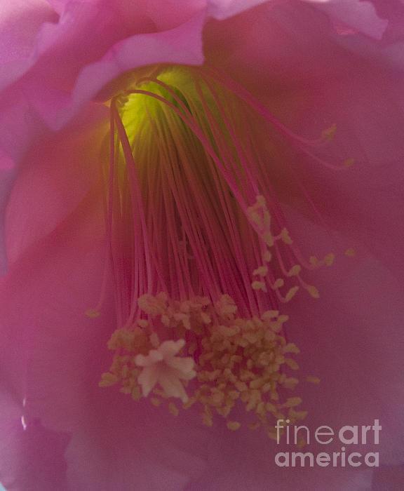 Darleen Stry - pink Stamen Macro