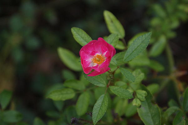 Rick Friedle - Pink Tea Rose
