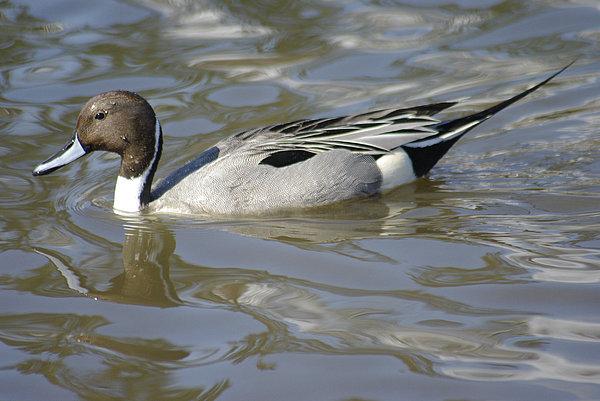 Marilyn Wilson - Pintail Duck