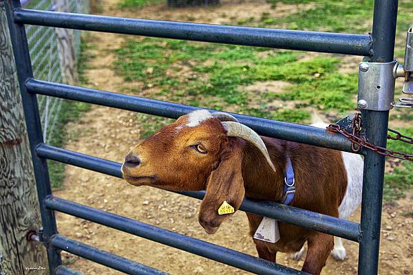 Madeline Ellis - Please Exonerate Me - Billy Goat