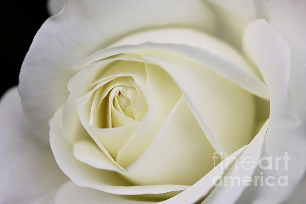 Jennie Marie Schell - Queen Ivory Rose Flower