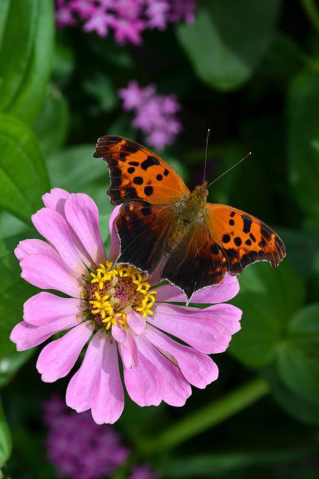 Eva Kaufman - Question Mark Butterfly And Zinnia Flower