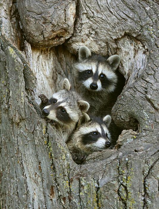 Myrna Bradshaw - Raccoons Peeking Out