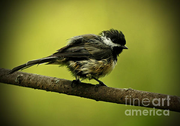 Inspired Nature Photography Fine Art Photography - Rainy Days - Chickadee
