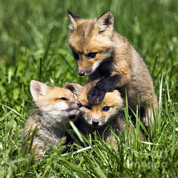 Daniel Dempster - Red Fox Babies - D006647