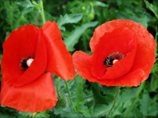 Kay Novy - Red Red Poppies