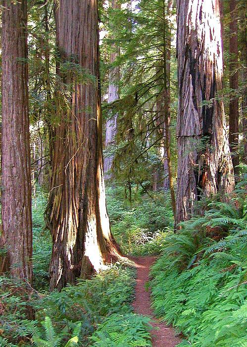 Cindy Wright - Redwoods Path