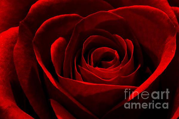 Mitch Shindelbower - Rose