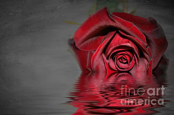 Lyn Evans - Rose reflection