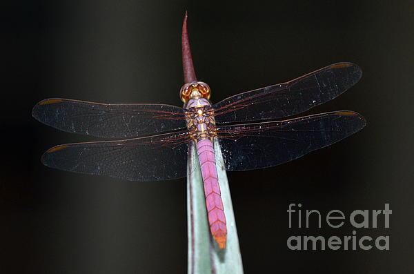 Kathy Gibbons - Roseate Skimmer Dragonfly