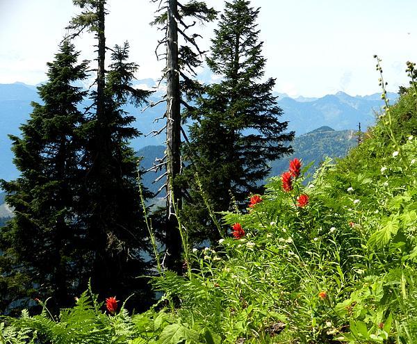 Karen Molenaar Terrell - Sauk Mountain Paintbrush